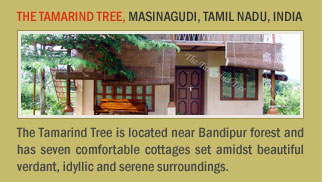 The Tamarind Tree, Masinagudi, Tamil Nadu, India